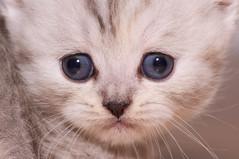 20110731 Kittens-22.jpg (Tim Ebbs) Tags: blue cats cute grey eyes small cream fluffy kittens tiny chilli playful markings britishshorthair britishshorthaired