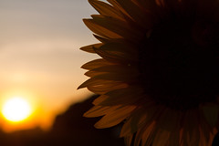 nice flower in the beginning sunset (KWURCCA1) Tags: sunsetflower