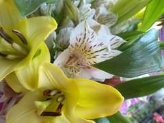 astromelia (fotografadecelular) Tags: flowers flores amarillo lili astromelia