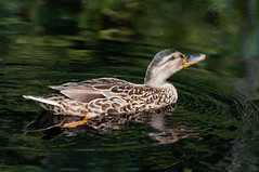 Wilde vrouwtjeseend - Female mallard (RuudMorijn) Tags: park wild fab brown lake black color reflection cute bird nature water netherlands pool beautiful beauty dutch animal closeup female swimming river outside one duck spring pond colorful day outdoor head wilde ripple background wildlife seasonal profile beak mother feather waterbird silence mallard breda tranquil eend anasplatyrhynchos vogel poot oranje doner bruin oog weerspiegeling reflectie vrouwtje zwemmen northbrabant wildduck mastbos vrouwelijk snavel donkerbruin watervogel schutkleur waterwild natureselegantshots rimpelingen ringexcellence bejaagbaar