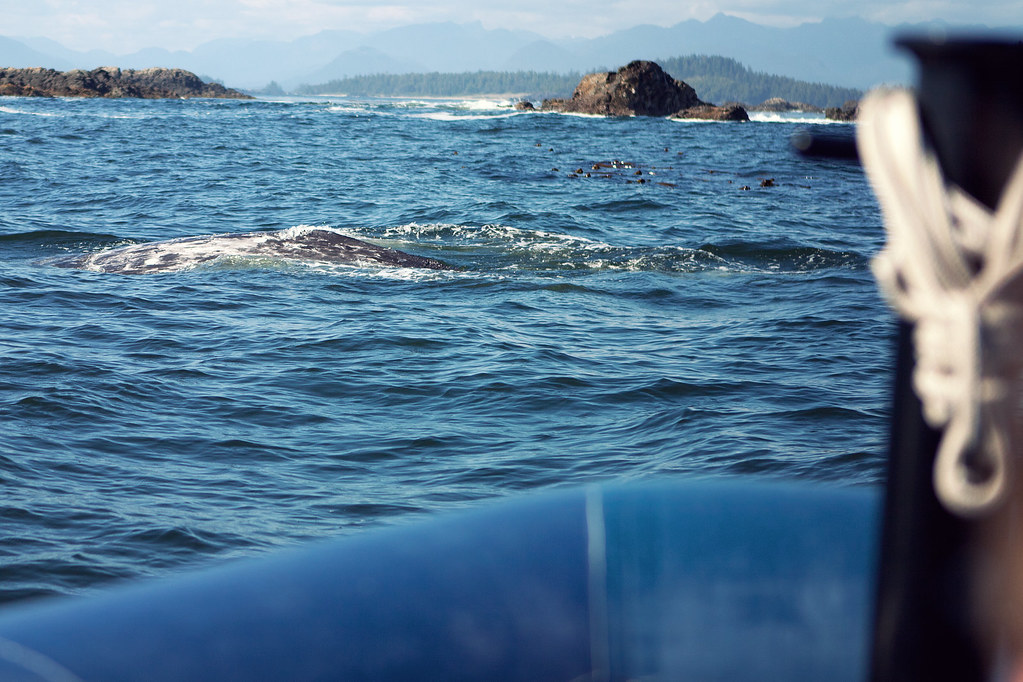 Whale watching - Tofino