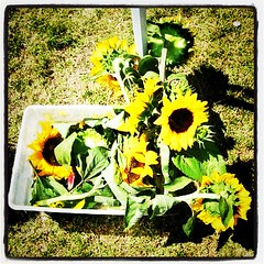 SUNFLOWERS. 