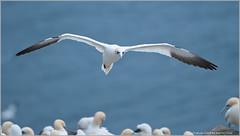 Northern Gannet (Raymond J Barlow) Tags: bird nature newfoundland nikon wildlife gannet d300 200400vr