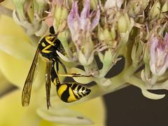 Eumenes mediterraneus (Jaume Bobet) Tags: insectos macro pentax bobet avispa eumenidae eumenes mediterraneus macrolife hymenopteros