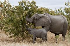 IMG_8599.jpg (AnthonyAdams) Tags: africa elephant wildlife botswana moremi bigfive big5 africa2011