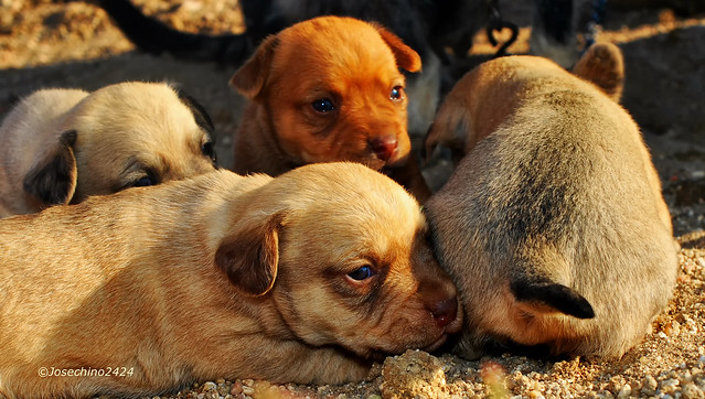 Camada de cachorros.