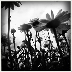 (Joie de Vivre) Tags: blackandwhite flower many iphone hipstamatic