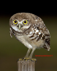 "Burrowing Owl ""Whoo Are You !!!""  Brian Piccolo Park (kevansunderland) Tags: bird nature canon fantastic hawk ngc raptor owl birdofprey watcher burrowingowl browardcounty floridawildlife protectedspecies wildlifephotography floridabirds brianpiccolopark blinkagainfrontpage bestofblinkwinners"