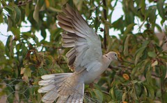 Collared Dove (aaron_eos_photography) Tags: summer tree nature birds garden inflight pigeon dove goldfinch sunday july bluesky wingspan overhead doves collareddove gardenwildlife wingspread nygerseed birdwildlife