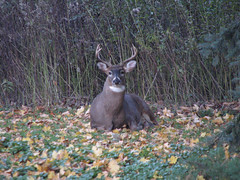 Staredown (manonthestreetdotcom) Tags: deer buck manonthestreet