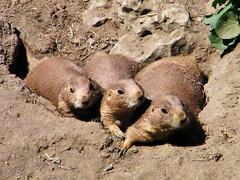 Prairie Dogs (Maia C) Tags: prairiedog comment detroitzoo maiac kodakz1015 kodakeasysharez1015is