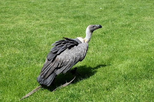 grey vulture on grass