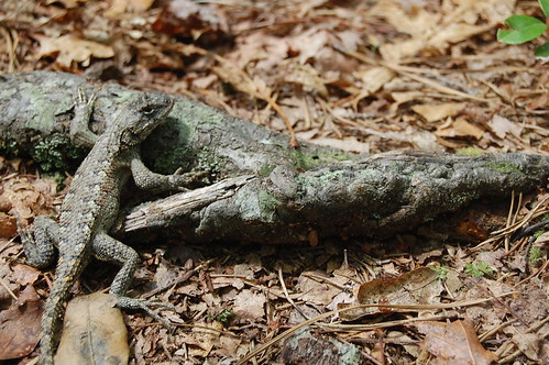 Lizard, Up-Close, RRG