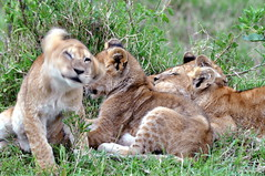 Lion Cubs (ewebber) Tags: africa animals nikon kenya 5 wildlife safari bigfive wildanimals big5 d90 africanwildlife