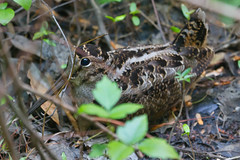 American Woodcock Photo