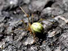 comb-footed spider (littlestschnauzer) Tags: uk green tarmac garden insect drive spider long legs jardin july transluscent 2011 spidre combfooted