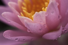 pink water lily (mmgdoherty) Tags: waterlily waterdroplets pinkwaterlily lensbabymuse