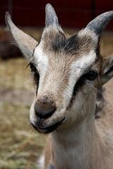 kiddie goats!