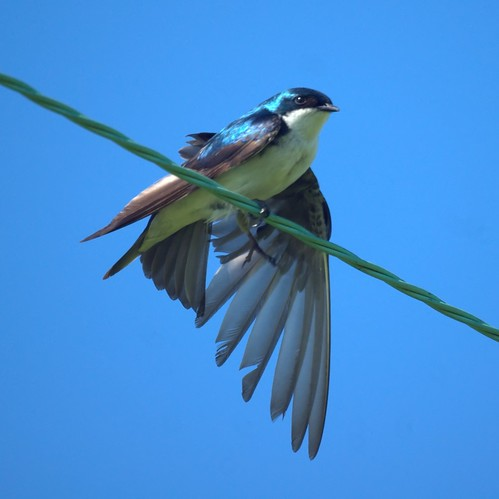 Tree Swallow: Negri Nepote