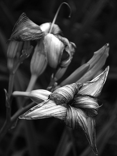 Withered Day Lilies - East Greenwich, Rhode Island