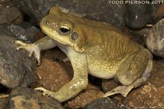 Bufo [Duttaphrynus] dhufarensis: Dhofar Toad (Todd W Pierson) Tags: amphibian frog todd pierson bufo anura amphibia bufonidae anuran dhufarensis duttaphrynus bufonid bufodhufarensis toddpierson duttaphrynusdhufarensis