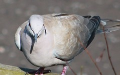Sun dappled Collared Dove (aaron_eos_photography) Tags: summer bird nature birds garden inflight wildlife goldfinch july birdsinflight greattit gardenbirds gardenwildlife nygerseed wednesdayteatime