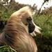 Gelada Baboon, so existe aqui na Etiopia