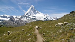 Grazing with a view (Johan_Leiden) Tags: mountains alps schweiz switzerland sheep suisse meadow zermatt matterhorn hhenweg hohbalmen edelweissweg