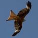 Red Kite 18