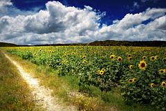 sunflower fields for ever (leowincy - mauro sassetti) Tags: fab dda naturesfinest digitalcameraclub supershot abigfave anawesomeshot colorphotoaward impressedbeauty ultimateshot flickrdiamond natureselegantshots bestcapturesaoi magicunicornverybest magicunicornmasterpiece elitegalleryaoi mygearandme