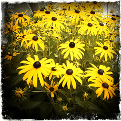 a whole lot of yellow (Morningdew Photography) Tags: morning flowers blue summer brown white toronto ontario canada black hot flower green yellow vintage warm gray vignette blackeyedsusan 3gs iphone hipsta dragondaggerphoto dragondaggeraward morningdewphotography hipstamatic kodot TGAM:photodesk=heat TGAM:photodesk=wide TGAM:photodesk=hipstamatic