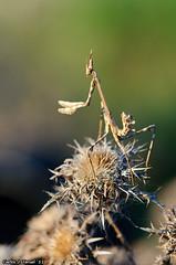 Empusa pennata (Carlos J. Teruel) Tags: espaa macro mantis atardecer nikon caceres d300 105mm losbarruecos empusapennata nikkor105mmf28gvrmicro xaviersam onlyraw