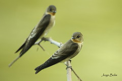 andorinha-serradora (Stelgidopteryx ruficollis) (2956) (Jorge Belim) Tags: fauna pássaro ave preferida canoneos50d bípede