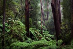 Sassafras Creek (Ranga 1) Tags: nature forest landscape nikon rainforest australian australia victoria explore jungle sherbrooke ferns mountdandenong dandenongs dandenongranges kallista gumtrees davidyoung treeferns flickraward