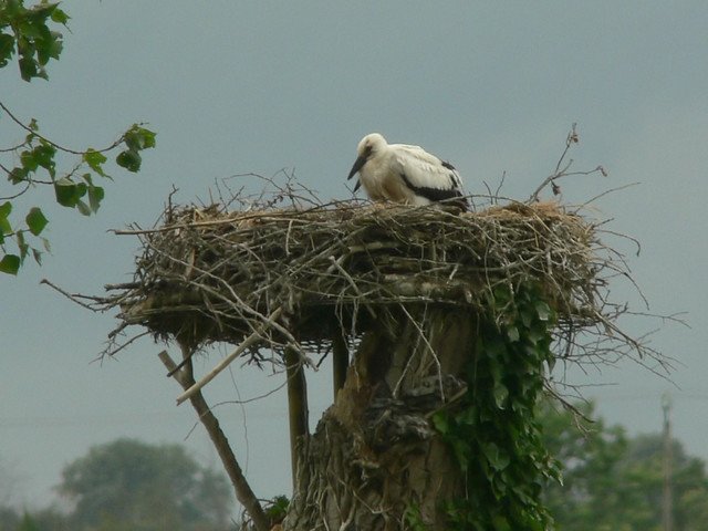 2 Stork young on nest