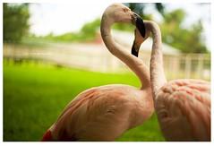 (Erika Victor) Tags: bird zoo bokeh flamingo 50mmf18 canonrebelxs