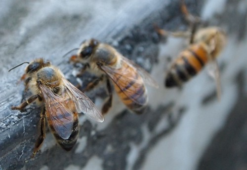 Honeybees Up Close - 1