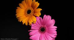 We Will always be Together (Meshari Al-Rezaihan) Tags: pink flowers orange black flower yellow night canon dark lights flash indoor kuwait 18200mm 550d lens18200mm canon550d alrezaihan اضاءهمركزه