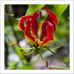 Op het Indische Achtererf (Marjo1963) Tags: flowers arnhem bloemen openluchtmuseum tropisch 072011