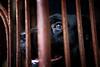 IMG_0044 (dama_de_noche) Tags: black lines rust cage blackdog aso itim dogeyes