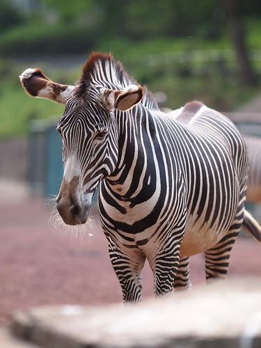 多摩動物公園 シマウマ