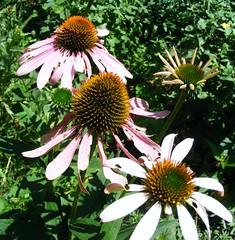 Cone flower Alice'sgarden (Castilleja19) Tags: coneflowers echinacea