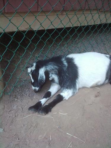 Shhhh, sleeping goat!