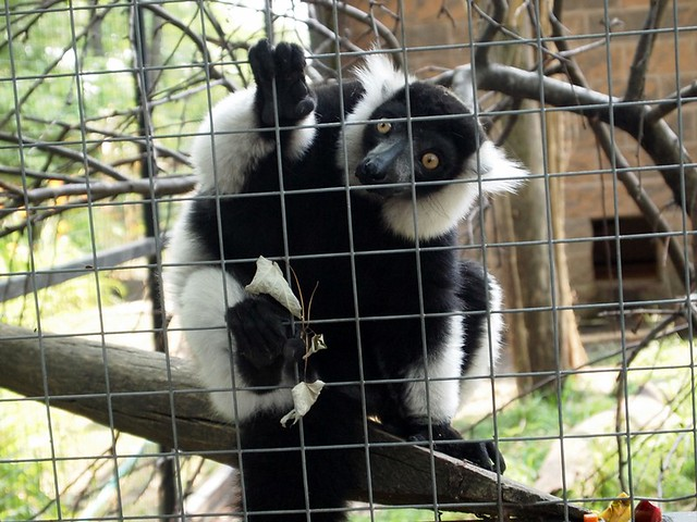meet the lemur