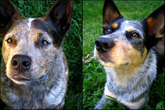 My girls (outinthesticks) Tags: blue portrait dog nose newengland northamerica australiancattledog acd blueheeler dogportrait australiancattledogmix bentleymark