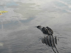 big gator not liking the intrusion
