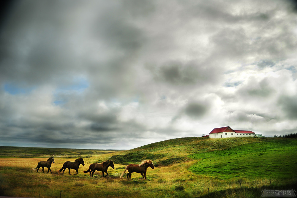 Horses in Iceland smaller for BnB