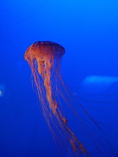 新江ノ島水族館 アカクラゲ