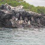 "Galapagos Penguins <a style=""margin-left:10px; font-size:0.8em;"" href=""http://www.flickr.com/photos/14315427@N00/5981396377/"" target=""_blank"">@flickr</a>"