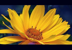 Konkarden : Tele-macro aka close up macro:  yellow flower (eagle1effi) Tags: city flowers light flower macro luz nature yellow closeup canon germany deutschland licht lumire natur blumen foliage stadt fiori blume fiore tuebingen lux luce closer tbingen lumen beate damncool tubingen macrozoom  wrttemberg badenwuerttemberg 450mm fav10 telemacro tubinga eagle1effi naturemasterclass ae1fave  16xzoom powershotsx1is telemakro sx1isbest canonpowershotsx1isreferenceshot dibenga stadttbingen tbingenamneckar stunningphotogpin best4gpin bestphoto4gpinaug2011 beautifulcityoftubingengermany beautifulcityoftbingengermany